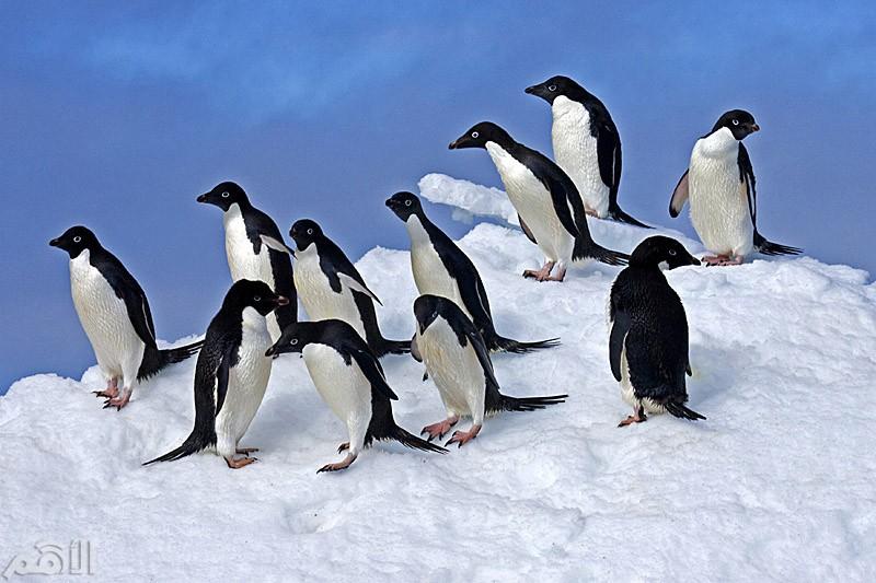أنتاركتيكا انتشار طيور البطريق