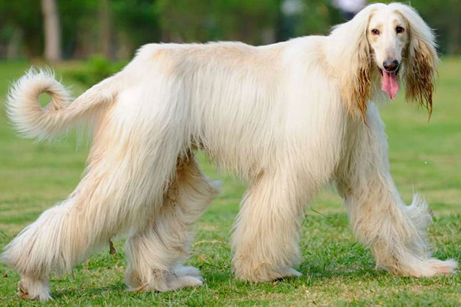 كلب أفغان هوند
