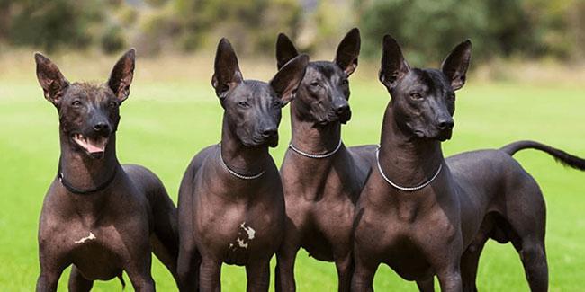كلب شولو ايتس كونتولي