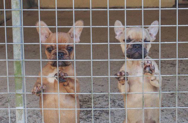 """الكلاب الصغيرة """" البوبي """""""