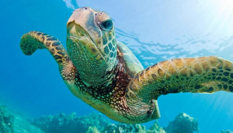 السلحفاة الكبيرة the great asp turtle