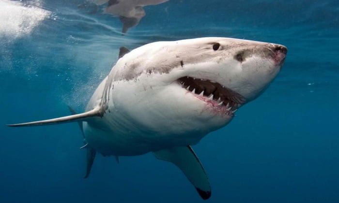 القرش الابيض الكبير Great White Shark